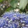 紫陽花の住人