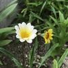 ガザニアとラベンダー開花