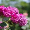 相模原北公園、バラ満開