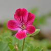 花盛りのベランダ2020 (5)