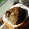 1月後半の #ねこ #cat #猫 どらやきちゃんA