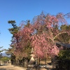 2017宮島桜情報【4/3】