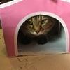 タケノコ40本堀ったどーーー&ねこのきもちの付録のキティーちゃんのキャットハウスを堪能するたまちゃん♪