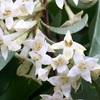 アキグミの花