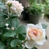 バラの二番花たち