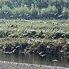 富田川にカワウの大群飛来 落ちアユ守れとかかし設置