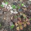ヤグルマソウ、開花。