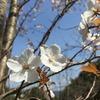 『俳句』初桜