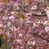 八重桜の散歩道!