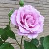 薔薇が咲いた(♡ˊ艸ˋ♡)