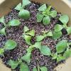 ペチュニアとインパチェンスの挿し芽をしてから1週間経ちました