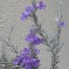 エレモフィラニベアの開花
