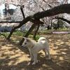 世界最大のドッグショー そのレベル 秋田犬 柴犬 出陳