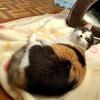 1才の猫の異食症が治ってきたので、回転しないわさび入り寿司を食べて祝った。マットを食べるのを見て飼主は鼻にツーンときて大弱りで獣医に相談したのだよ❓️