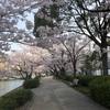 桜を撮ってきました