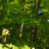 初夏に向かって 4 カラスアゲハとミヤマカラスアゲハ♀