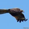 間近を飛ぶ青空のトビ
