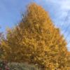 相生公園の銀杏の紅葉ピークです。 (12月11日現在)