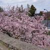 兼六園の椿寒桜