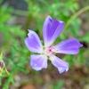 透明感のあるポピーマローの花