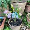 アマリリスの開花