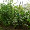野菜収穫!夏の香り☆