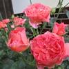 「まつこの庭」はバラの2番花が盛りです !!