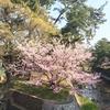夙川の桜〜開花状況&お散歩日記