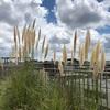 やり直しの菜園・・・チンゲンサイと京みずな、小カブ、ダイコン、ハクサイを植えました!〔8月、9月に植える野菜の種のまき方〕