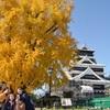 黄金に輝く「銀杏城」 熊本城、大イチョウ色づく