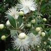 ギンバイカ(銀梅花) マートルの名前でも販売されています.「よく知られた植物」 とは言い難い,日本では.しかし,英国のロイヤルウェディングブーケに必ず入っているのがマートル!.ビクトリア女王以来の伝統.古くは美と愛の女神アプロディーテーの神木として知られています.葉はハーブとして利用され,エッセンシャルオイルも販売されています.また,薬用としての利用の歴史も古く,その,抗炎症,解熱鎮痛,抗酸化作用が現在でも注目されています.そして,ミルトというリキュールにも.