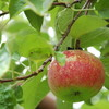 Apple Picking at Honey Pot Hill Orchards