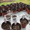 一気に春めいてきたので、慌てて野菜の種をポットに蒔きました。春夏野菜のスタートです。