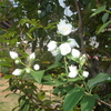 白い花が咲いたよ
