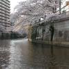 目黒川の桜クルーズ