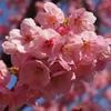 紅いお花見「横浜緋桜」