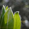 クロモジ(黒文字)の新芽 Lindera umbellata