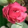 アデニウムの発芽、トルコキキョウの開花、夜香木の開花、スパイダーリリーの蕾、クレマチスの再開花