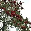 ロドレイア ヘンリー'レッドファンネル'(Rhodoreia henryi cv. Red Funnel)