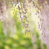 亀戸天神の藤の花