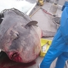 定置網漁に巨大魚 漁業者を困らせる厄介者が