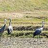 ナベヅル5羽が初飛来・山口、本州唯一の越冬地(山口県)