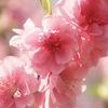 桃の花にあるパワー~飾るだけではない~
