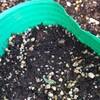 アップルベリーの発芽と鉢のサイズ