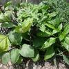 苗の植え付け(トマトほか多数)