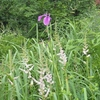 野に咲いていたノハナショウブ