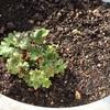 ベランダの鉢植えに春到来。大文字草とかバラの芽とか