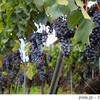 アルザスワインのアペラシオン