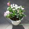 チューリップの寄せ植え 🌷 開花第1弾 & チオノドグサに蕾が出来ました 🌷