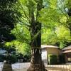 春日部八幡神社のパワースポット:御神木の大銀杏